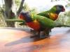 Двуглавый попугай
